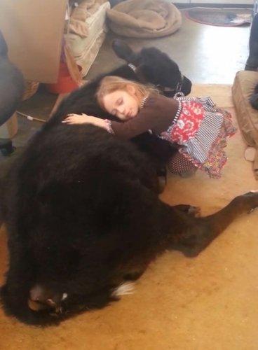 Пятилетняя девочка притащила домой телёнка (8 фото)