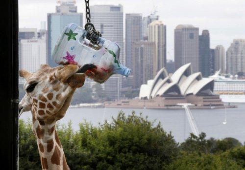 Рождественские подарки в зоопарке Сиднея (11 фото)