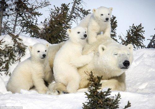 Забавные белые медвежата (15 фото)
