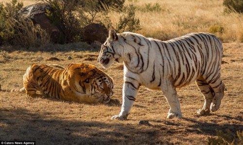 Схватка двух тигриц (9 фото)
