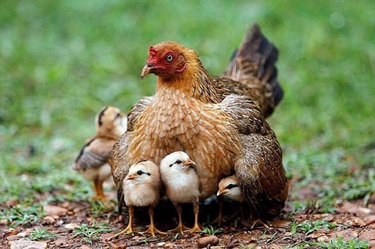 фото домашних птиц с детенышами хороший, раскладной