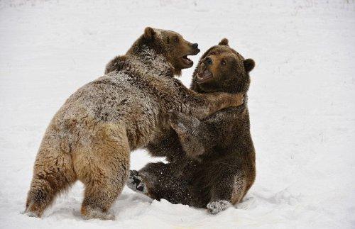 Медвежья борьба (17 фото)