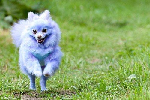 Фиолетовая собака-звезда интернета (3 фото)