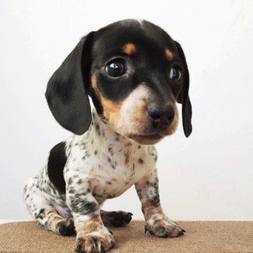 Обаятельный щенок Риз  (15 фото)