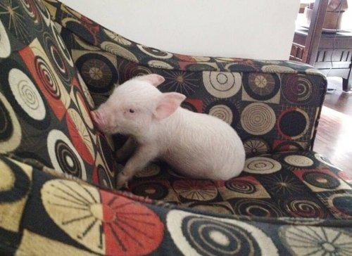 Свинка,которая думает,что он собака (18 фото)