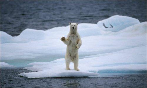 Белые медведи (42 фото)