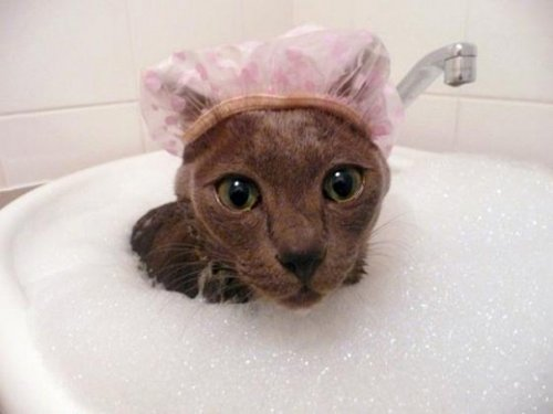 Кошки,которые любят воду (37 фото)
