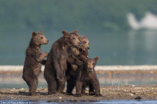 Медведица учит медвежат ловить рыбу (6 фото)