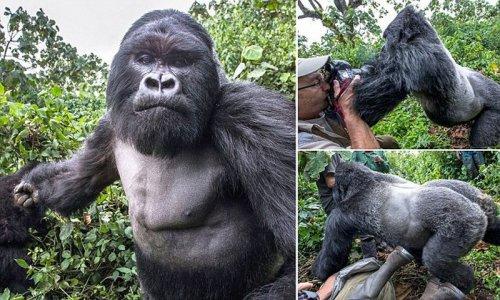 Пьяная горилла врезала фотографу (6 фото)