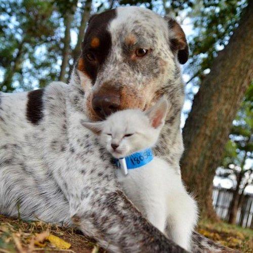 Хвостатая мама Софи и милые котята (4 фото)