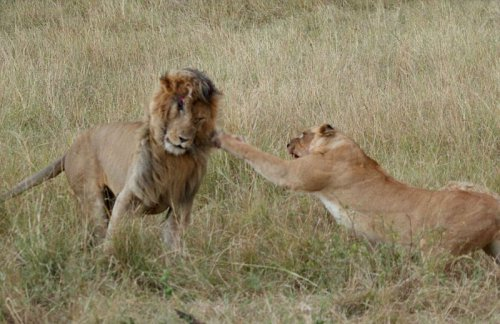 Львицы против львов  (9 фото)