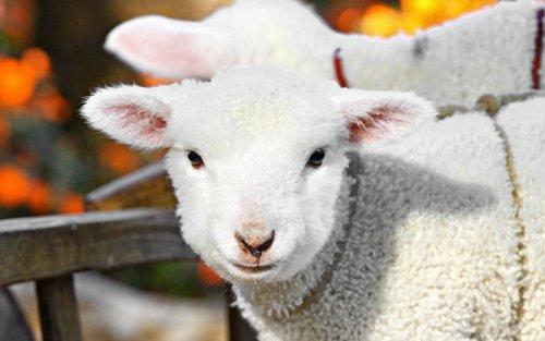 Очаровательные и эпические фотографии овец (32 фото)