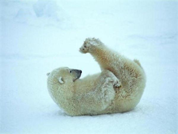Юмор:Уроки йоги от полярных медведей