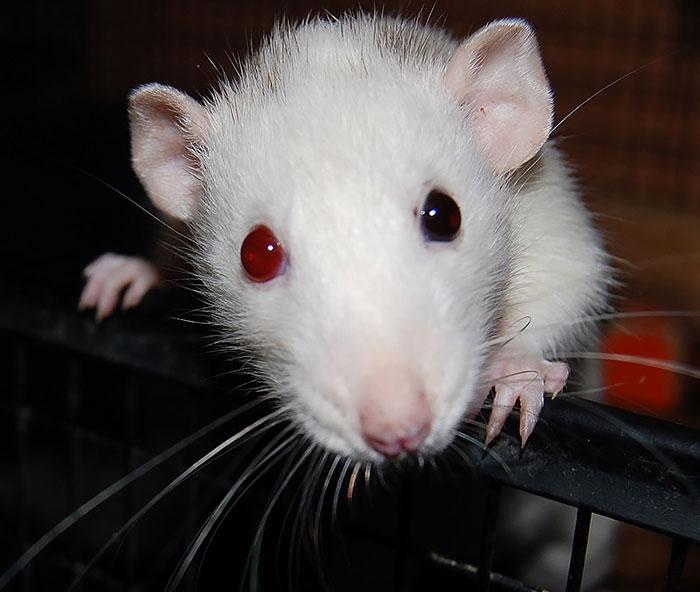 фото белого мышонка с красными глазами дилдо