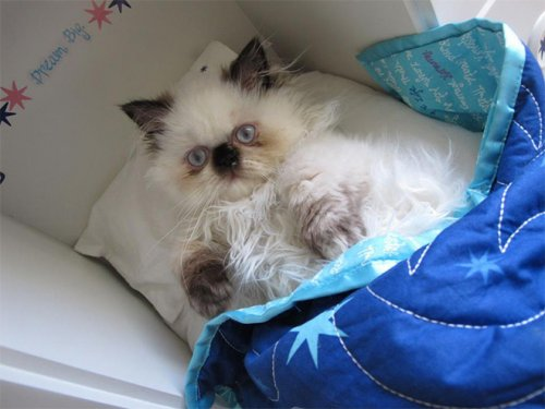 Кошки в кукольных кроватках (15 фото)