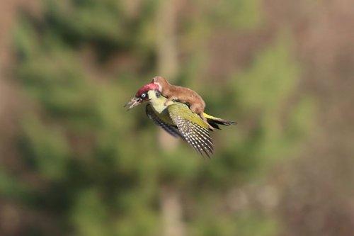 Фантастически редкое фото — ласка летит верхом на дятле (4 фото)