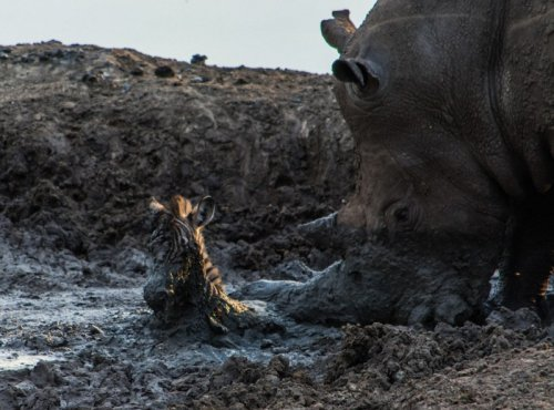 Носорог-спасатель (6 фото)