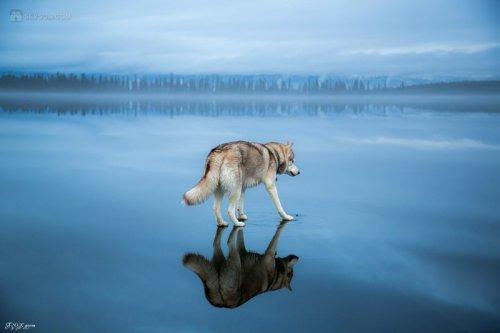 Сибирские хаски гуляют по озеру (25 фото)
