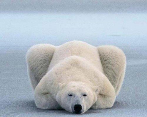 Юмор:Уроки йоги от полярных медведей (12 фото)
