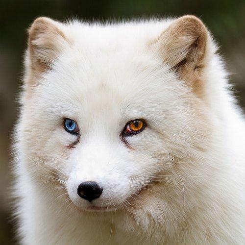 Животные с разноцветными глазами (79 фото)