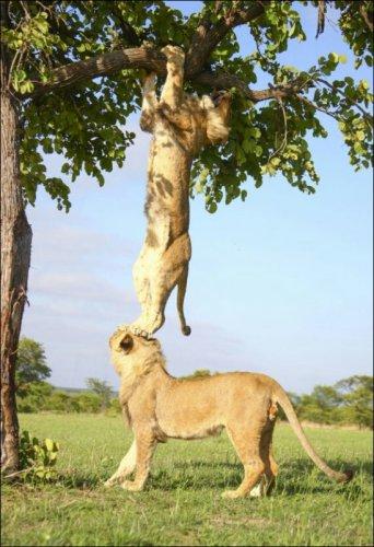 Лев, который не смог (2 фото)
