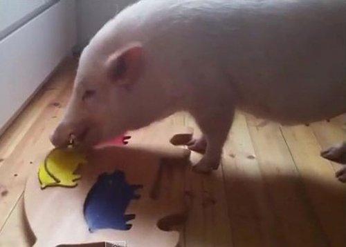 Умная свинья научилась складываеть пазл