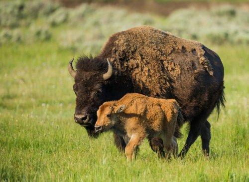 5 интересных фактов о бизонах (6 фото)