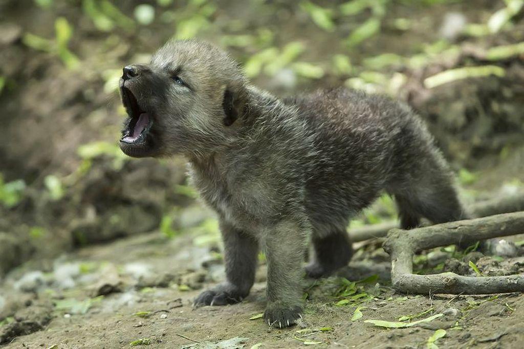 существуют волчонок фото животного программы
