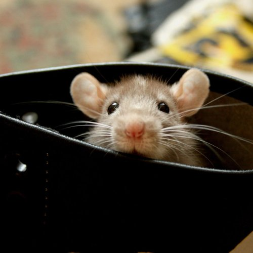 Очаровательные крыски (27 фото)