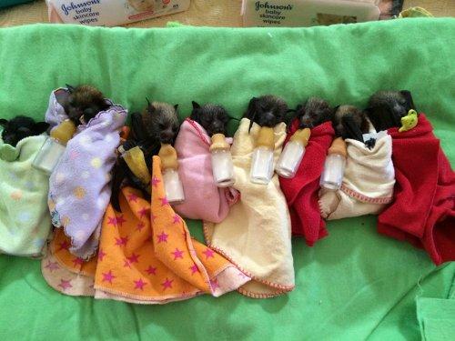В австралийской ветклинике выхаживают осиротевших детёнышей летучей мыши (11 фото)
