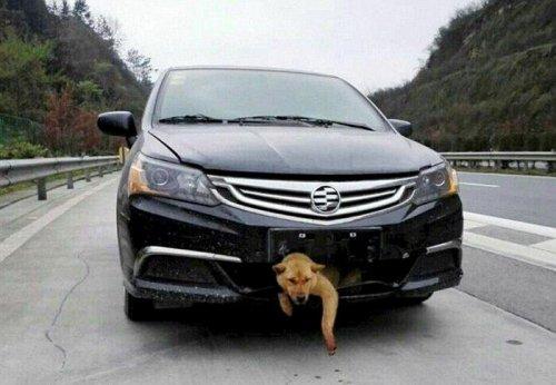 Сбитый пёс проехал в бампере авто 400 км (10 фото)