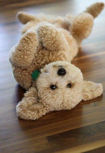 Собаки,как мягкие игрушки (10 фото)