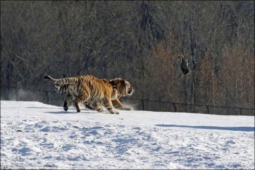 Обед перехитрил тигра (6 фото)