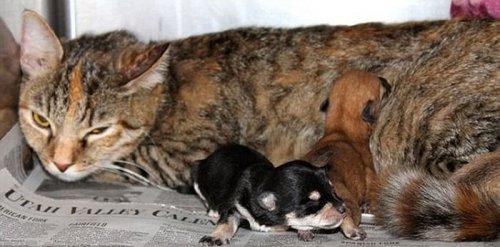 Кошка по кличке Кит усыновила брошенных щенков чихуахуа