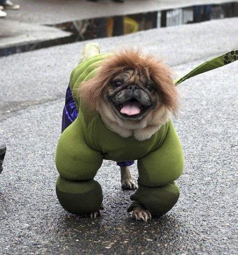 Собаки в образе Халка (10 фото)
