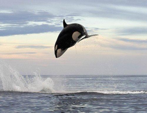 Огромная косатка подражает дельфину (4 фото)