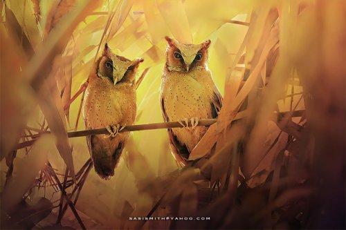 Загадочные совы через объектив фотографа Саси Смит (13 фото)
