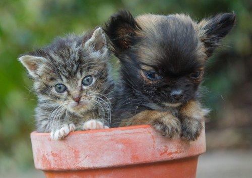 Крошечная собачка Дисней, считающая себя котёнком (8 фото)