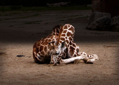 Как спят жирафы (12 фото)
