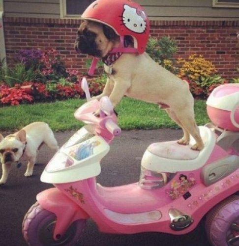 Собаки-байкеры (10 фото)