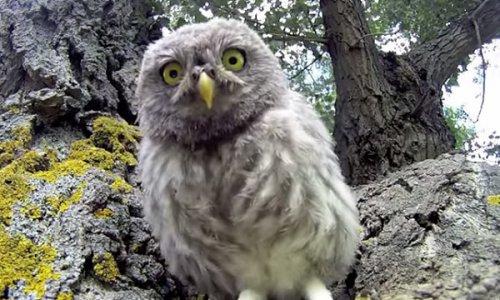 Совиная семья обнаружила камеру возле своего гнезда