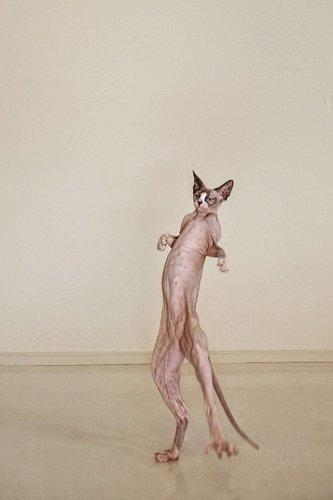 Кошки-сфинксы на фотографиях Серены Ходсон (10 фото)