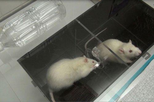 Крысы оказались верными друзьями
