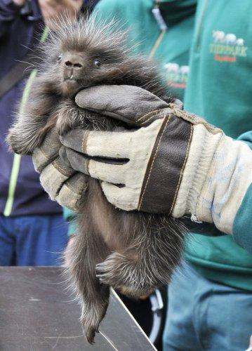 Месячный детёныш американского дикобраза в гамбургском зоопарке (8 фото)