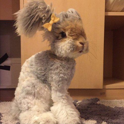 Ангорский кролик Уолли с ушками-крыльями (10 фото)