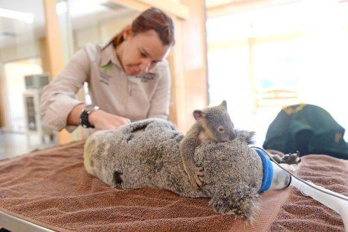 Детёныш коалы держался за свою мать, пока ветеринары спасали ей жизнь (8 фото)
