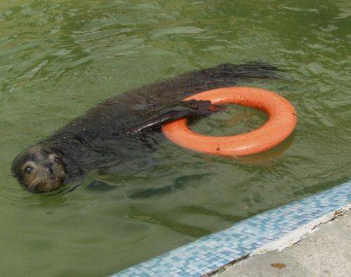 Забавные животные, любящие поплавать со спасательным кругом (9 фото)