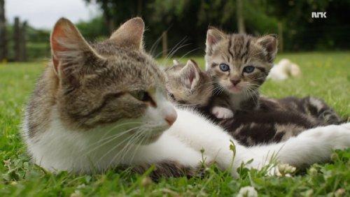 Кошка, ставшая мамой для утят (8 фото)