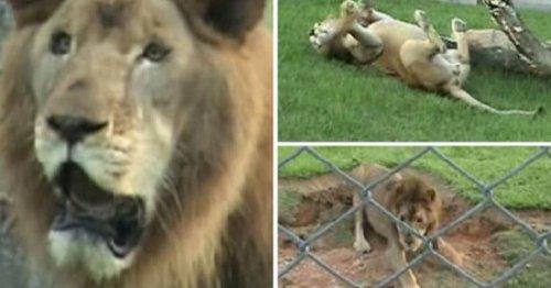 Львиное счастье: ощутить траву под лапами после 13 лет заточения
