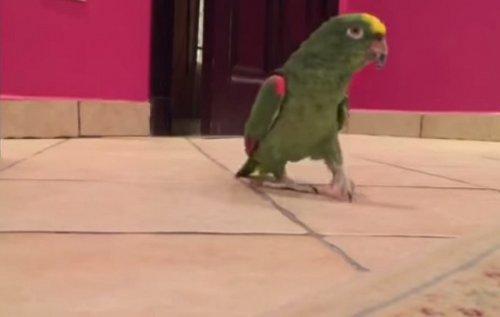 Юмор: Злодейский смех попугая